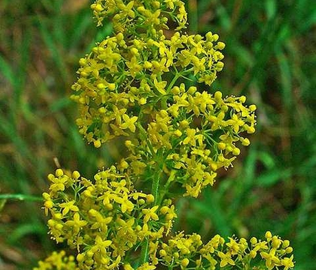 Bedstraw, Lady's (Galium verum) Plant