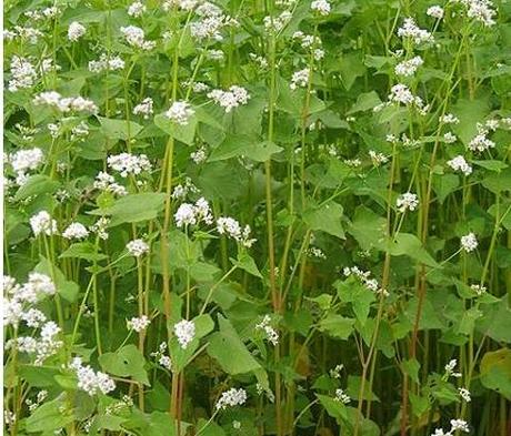 LIFAGO Buckwheat Seed (Fagopyrum tataricum)
