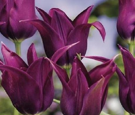 Burgundy Tulip Bulbs