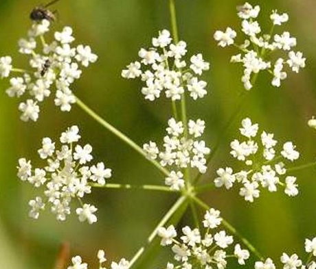 Saxifrage, Burnet (Pimpinella saxifraga) Seeds - Boston Seeds