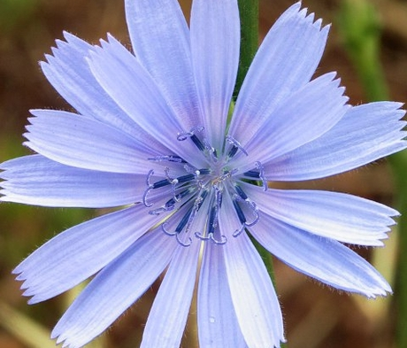 Chicory Seed (Agricultural)