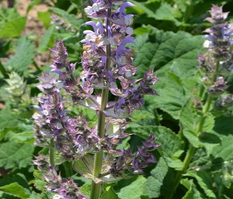 Sage, Clary (Salvia sclarea) Plant