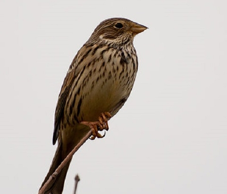 CSS10/FCB Wild Bird Food Mixture - Finch & Corn Bunting (1 year) AB9