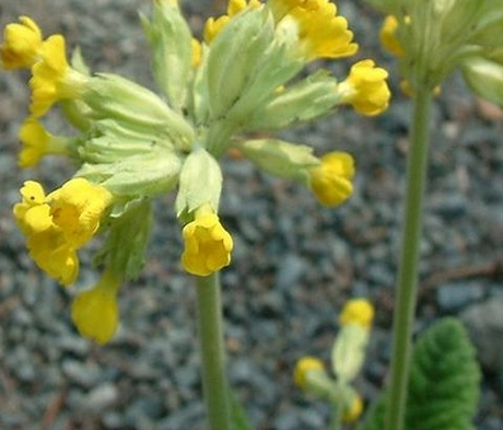Cowslip (Primula veris) Seeds