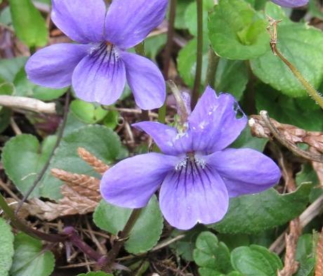 Violet, Dog (Viola riviniana) Plants