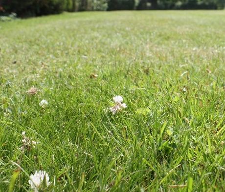 BS Eco-Clover Grass Seed