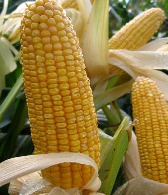 Es Ballade, Forage Maize