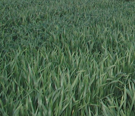 Forage Rye Seed (Secale cereale)