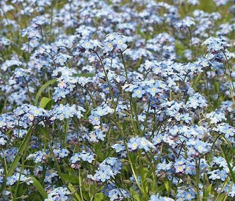 Forget-me-not, Field (Myosotis arvensis) Seeds