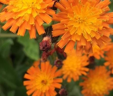 Fox and Cubs (Pilosella aurantiaca) Plant