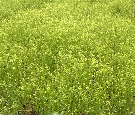 Gold of Pleasure - Camelina Seed
