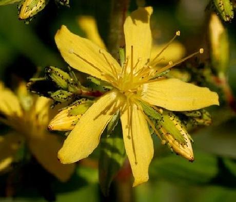 St John's-Wort, Hairy (Hypericum hirsutum) Plant