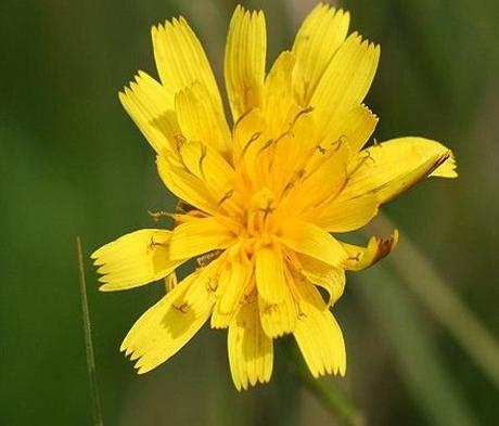 Hawkbit, Autumn (Leontodon autumnalis) Plant