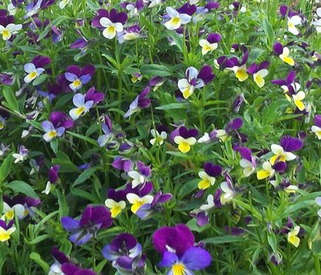 Heartsease (Viola tricolor) Plants