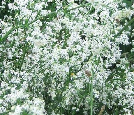 Bedstraw, Hedge (Galium mollugo) Plant