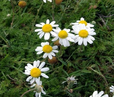 Chamomile, Lawn (Anthemis nobilis) Plant
