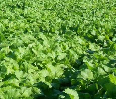 Skyfall (Hybrid Brassica), Stubble Turnip