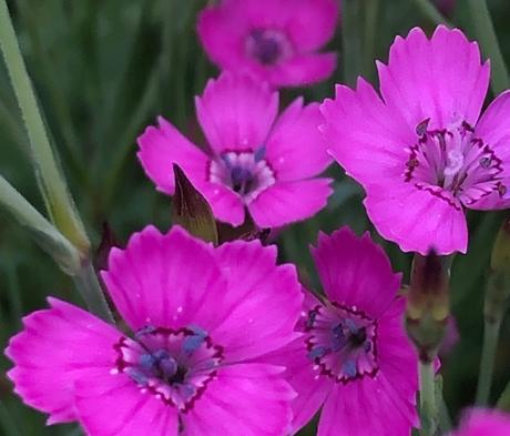 Maiden Pink (Dianthus Deltoides) Plant