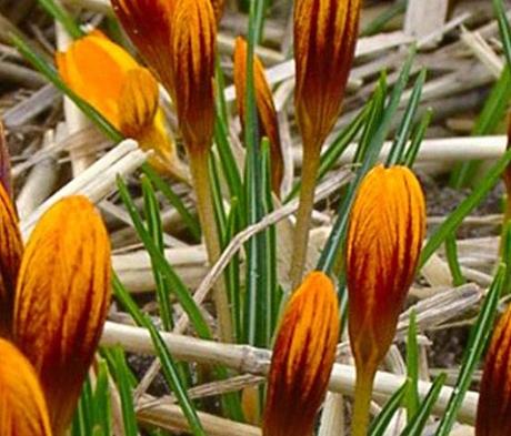 Orange Monarch Specie Crocus Bulbs