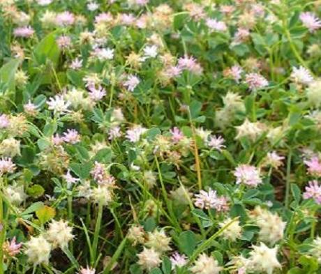 Persian Clover Seed (Trifolium resupinatum)