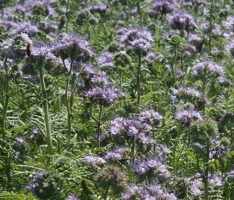 Phacelia Seed (Phacelia tanacetifolia)