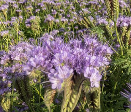 Phacelia Seed (Phacelia tanacetifolia) - (Organic)