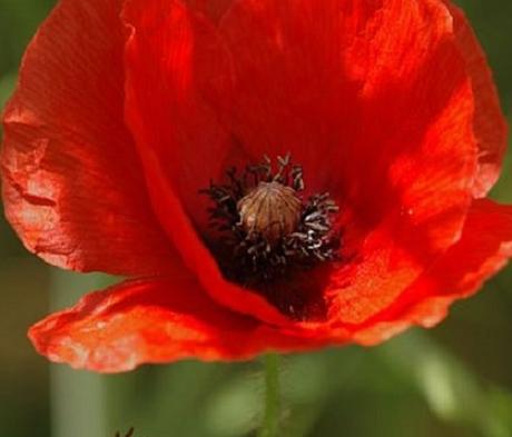 Poppy, Common (Papaver rhoeas) Seeds