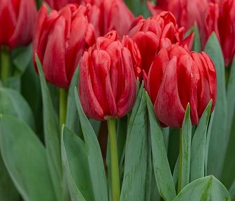 Red Foxtrot Tulip Bulbs - Bulk Buy