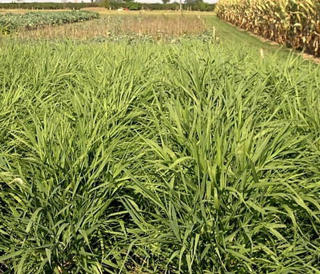 Reed Canary Grass Seed