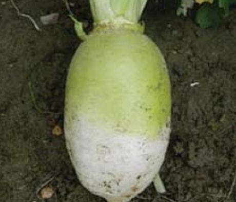 Rondo, Stubble Turnip