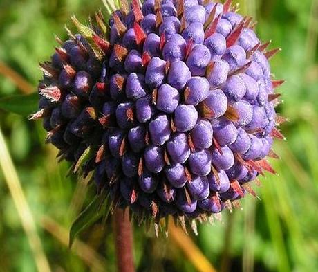 Scabious, Devil's-bit (Succisa pratensis) Plant