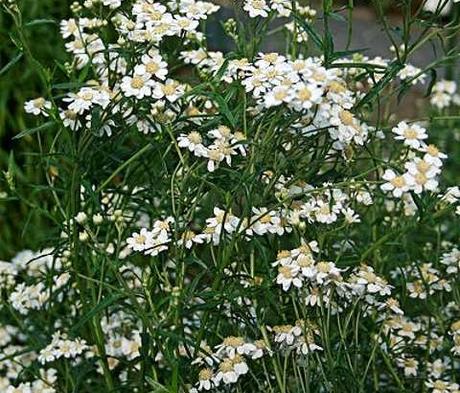Sneezewort (Achillea ptarmica) Plant
