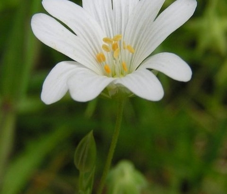 Stitchwort, Greater (Stellaria holostea) Seeds