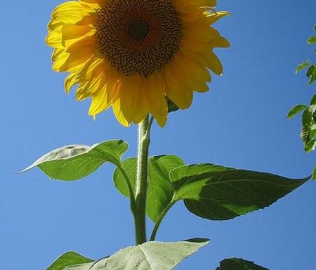 Sunflower Seed (Helianthus annuus)