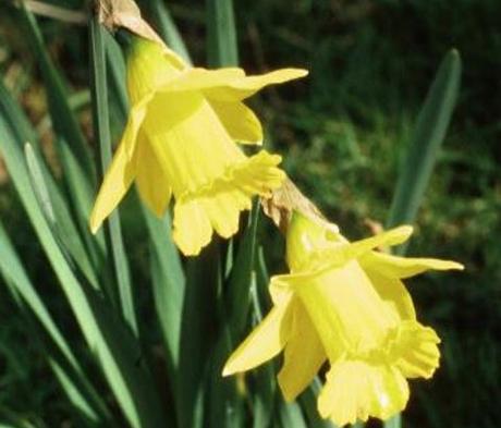 BS Wild Daffodil Bulbs (Narcissus lobularis)