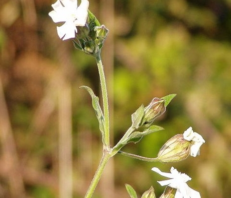 Campion, White (Silene alba) Plant