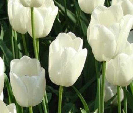 White Dream Tulip Bulbs
