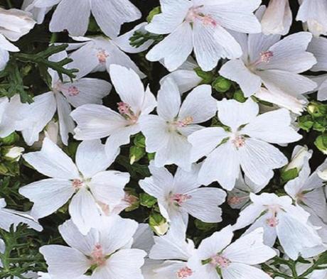 Mallow, Musk White (Malva moschata) Plant