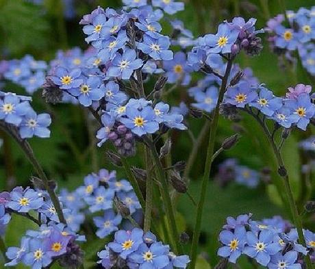 Forget-me-not, Wood (Myosotis sylvativa) Plant