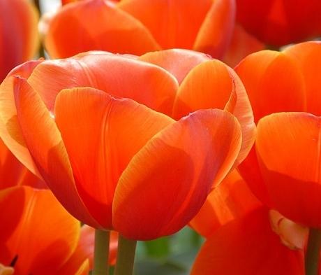 Ad Rem Tulip Bulbs