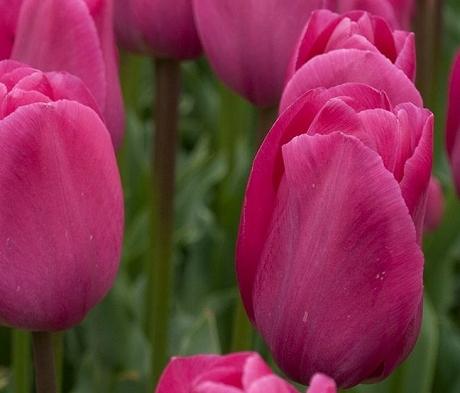 Barcelona Tulip Bulbs