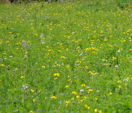 BS12M: Low Growing Wildflower Meadow Seeds
