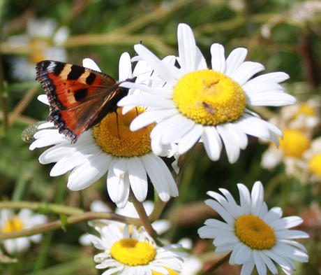 BSBM: Butterfly & Bee Wildflower Seeds