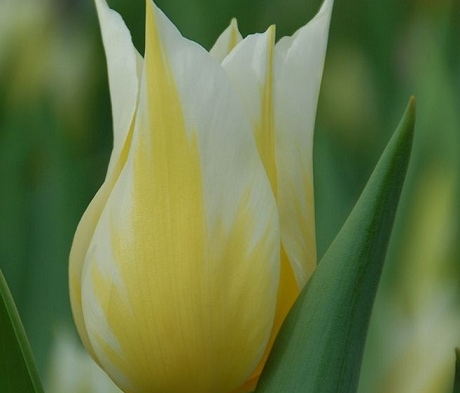 Budlight Tulip Bulbs
