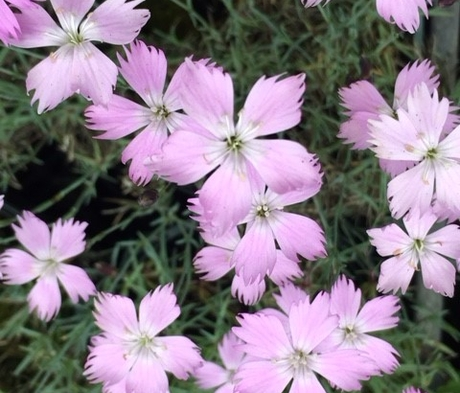 Cheddar Pink (Dianthus Gratianopolitanus) Plant