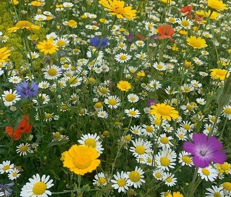 BS9P 100% Cornfield Annuals Wildflower Seeds