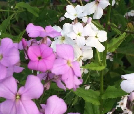 Dames Violet (Hesperis Matronalis) Plant