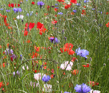 BSDM Diamond Jubilee Wildflower Meadow Seeds