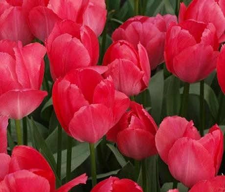 Lady Van Eijk Tulip