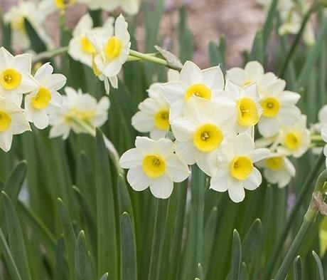 Minnow Narcissi Bulbs
